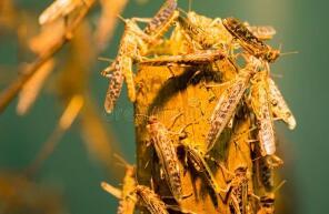 中国工作组考察巴基斯坦蝗灾区:蝗虫进入交配繁殖期 情况比预想还严重